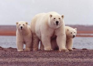 ours polaires bébés ours polaire