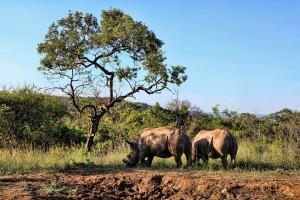 Rhinocéros latitude zéro